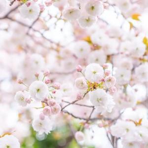 見上げれば淡雪のような八重桜