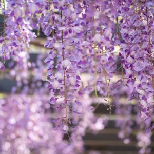 風薫る五月の藤の花