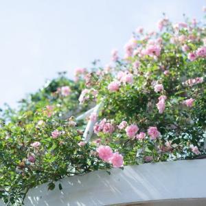 クロエの笑顔とバラの花