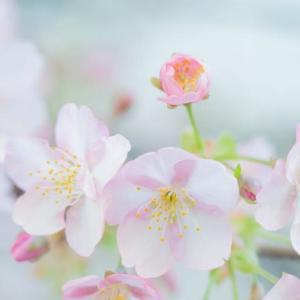 河津桜の季節になりました