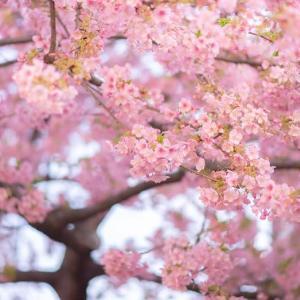 雨にも負けず風にも負けず*河津桜は春の色