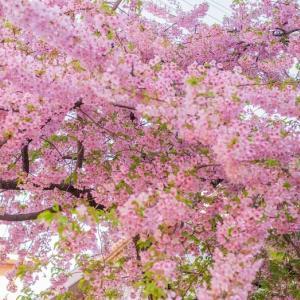 河津桜の木の下で*2021