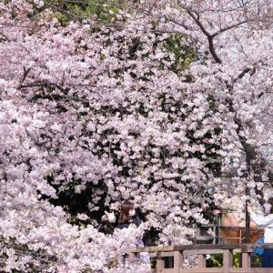 東京の桜が満開です***
