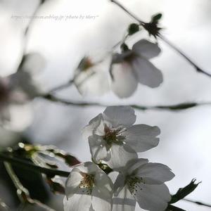 平成最後の桜 2019