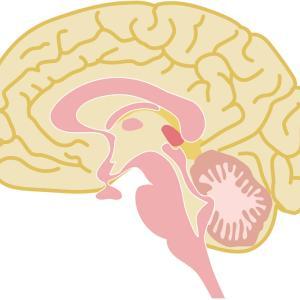 痛みの情動と認知に関わる部位