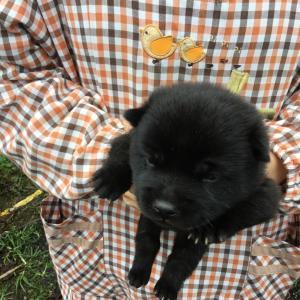 10月3日生まれの仔犬のご紹介