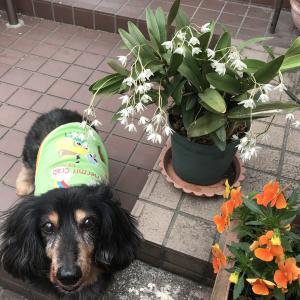 キンギアナムの花とマロちゃん