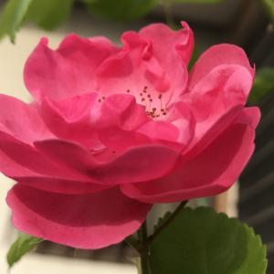 薔薇が綺麗です。