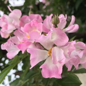バレリーナが咲いて来ました。
