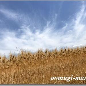 NHKニュースザウルスふくい 5/27(月)の『食探いろどりレシピ』コーナーは六条大麦