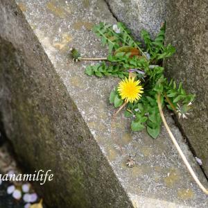 アスファルト、コンクリートから咲くタンポポのように