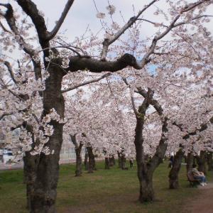 五稜郭公園の桜が満開【画像あり】