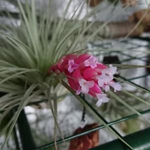 花芽付きコットンキャンディ