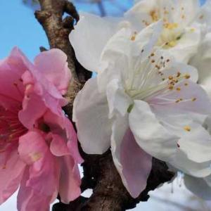 一代限り紅白の梅「源平咲き」 異なる遺伝⼦「キメラ」の仕業