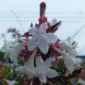可憐に咲く白い花 アベリア雨に濡れる