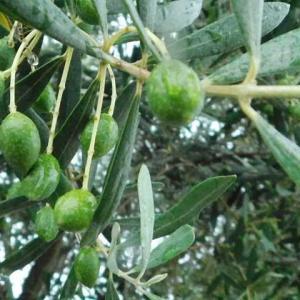 緑が生える雨の オリーブも濡れる一日