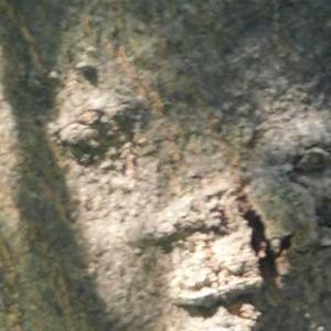 木の幹から視線を感じる 自然のイタズラ パレイドリア現象に