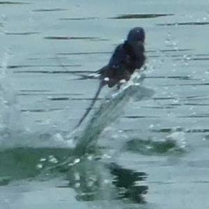 ツバメの水浴び 池に波紋が広がる