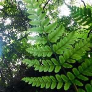 涼を求め木陰の道 ヤツデの葉 木漏れ日に光る