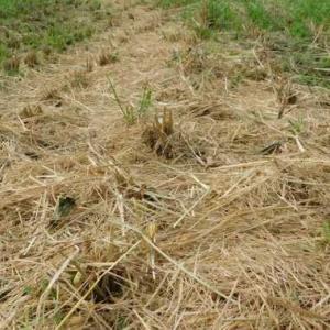 江戸時代では3両分 稲の脱穀終わり450キロ収穫