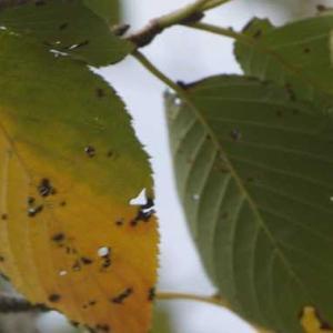 緑色から黄色に 桜の葉 秋を伝える