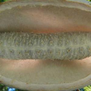 大きな幼虫? いいえ白アケビの実です