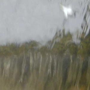 増水した川に白い花 穏やかな流れに乗り海に消える