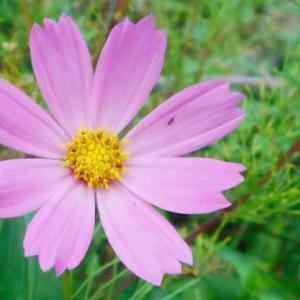 梅雨明け前に秋の気配 季節忘れたコスモス咲く