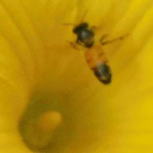 黄色い花咲きカボチャ実る 食卓登場まであと少し