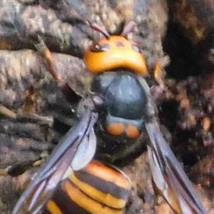 生存競争の覇者スズメバチ 虫たち寄せ付けず樹液の食事