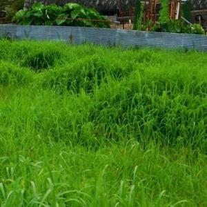 多島美に見える水田の雑草 草刈り作業黙々行う