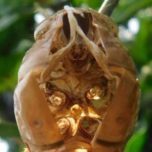 ミカン畑で繰り広げられる セミ幼虫続々羽化