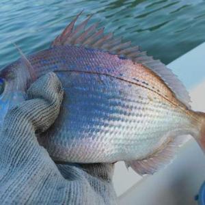 鮮度のいい魚に舌鼓 道糸巻くと桜色の鯛