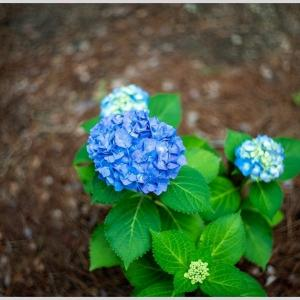 花撮り・紫陽花