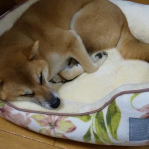 柴犬まるこに新しいベッド