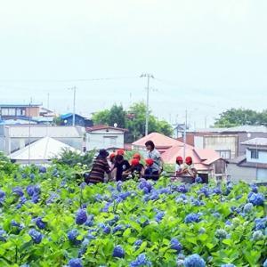 紫陽花のお寺見学