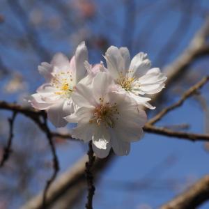 十月桜【奥宇辰山県民公園】その2