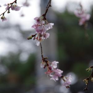 正月から十月桜