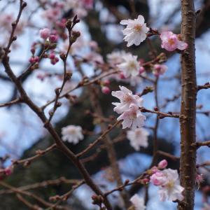 冬桜は満開です!