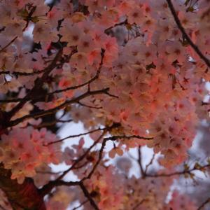 夜桜見物「金沢広坂周辺」