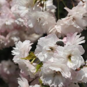 倶利伽羅山の花咲か爺さん
