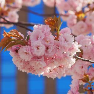 金澤の桜2020年未UP編(その4)