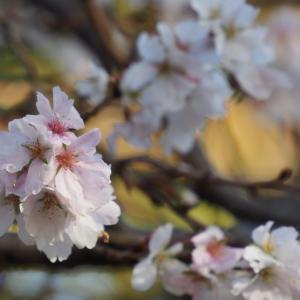 2020年十月桜「 大乗寺丘陵公園」