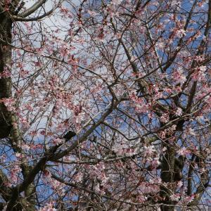 毎年撮ってます「早咲き桜」