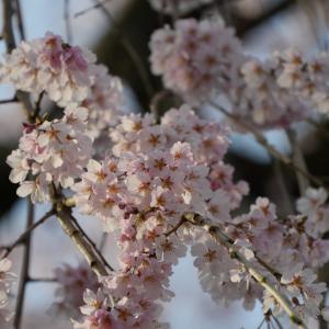 ベストタイミング「慶恩寺のしだれ桜」