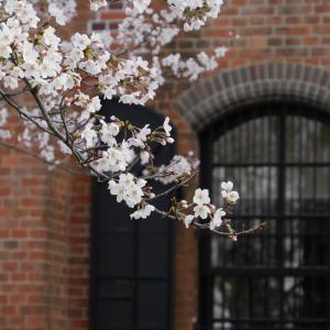 赤レンガミュージアムの桜
