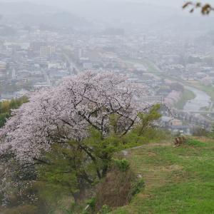 見晴らし台(卯辰山公園)の桜