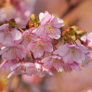 蝶屋桜の名所づくり「河津桜」第3弾