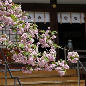 兼六園菊桜「尾山神社」