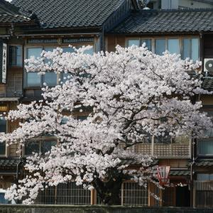 「金澤桜百景」蔵出し写真(その1)